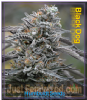Humboldt Black D.O.G. Female 5 Cannabis Seeds